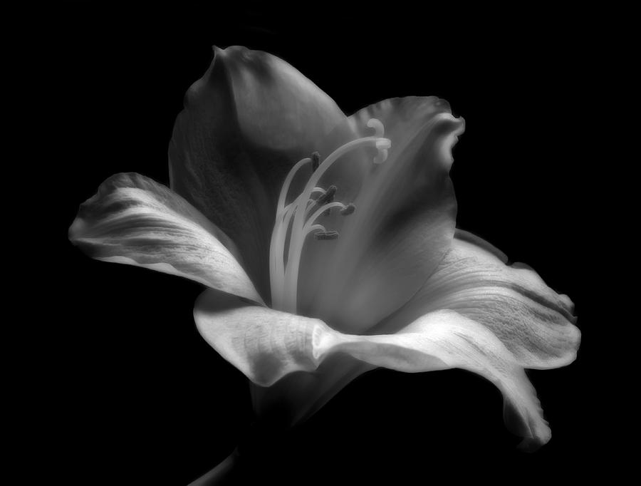 Black And White Lily Photograph  - Black And White Lily Fine Art Print