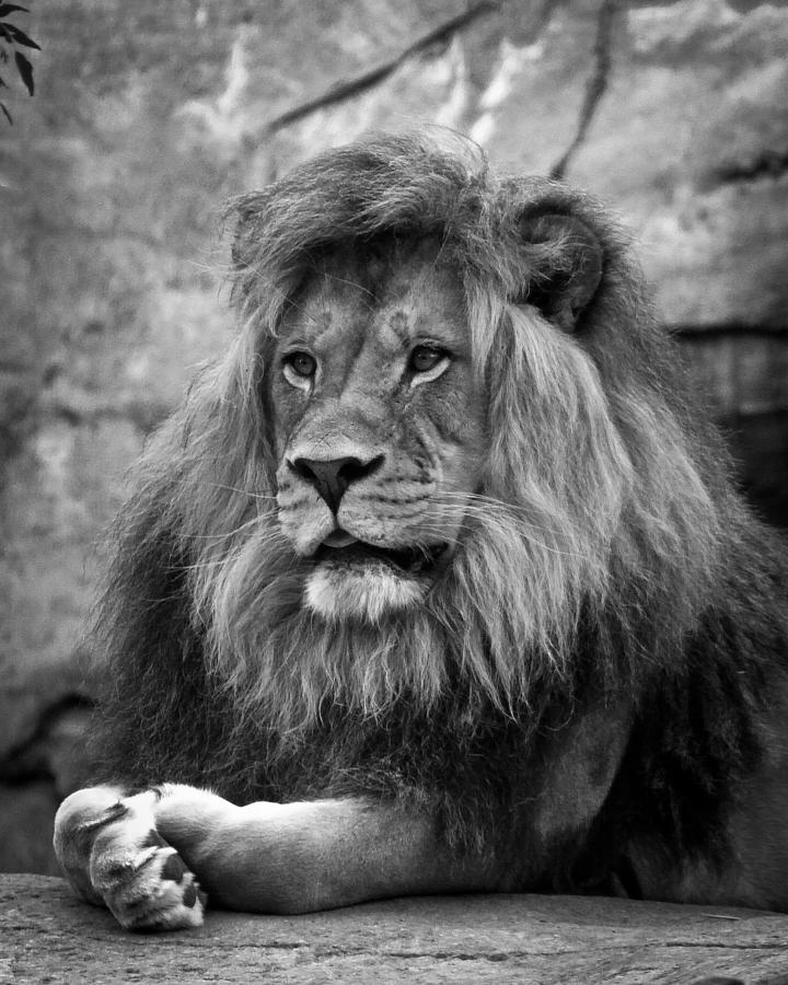 Black And White Lion Painting Pictures To Pin On Pinterest