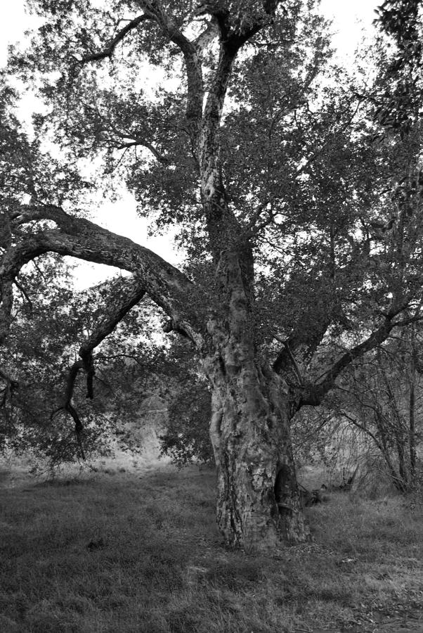 Black And White Oak Photograph