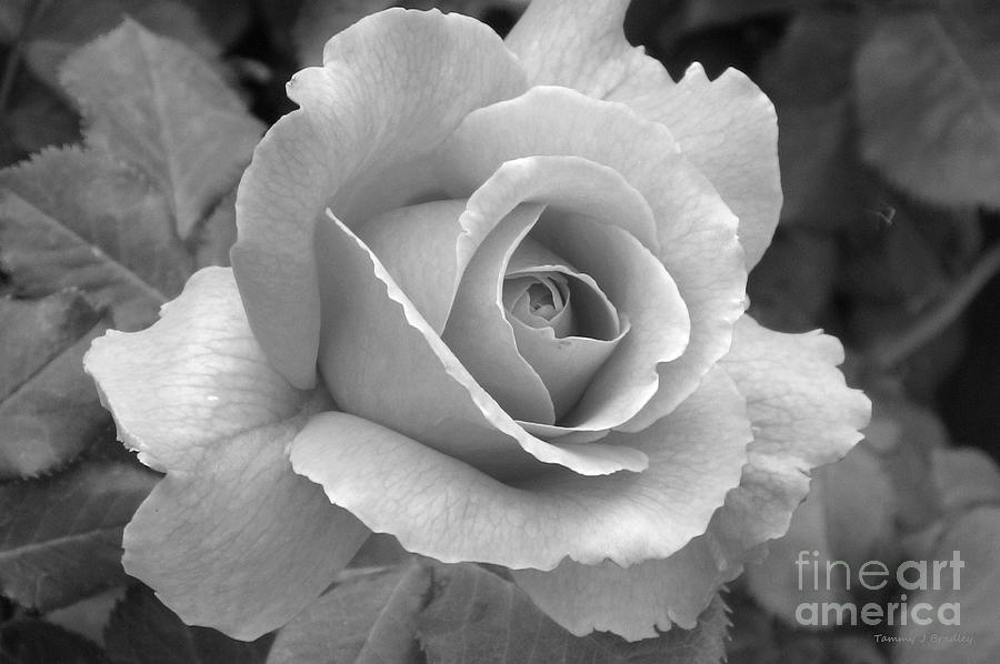 Black And White Rose Photography Pictures to Pin on ...