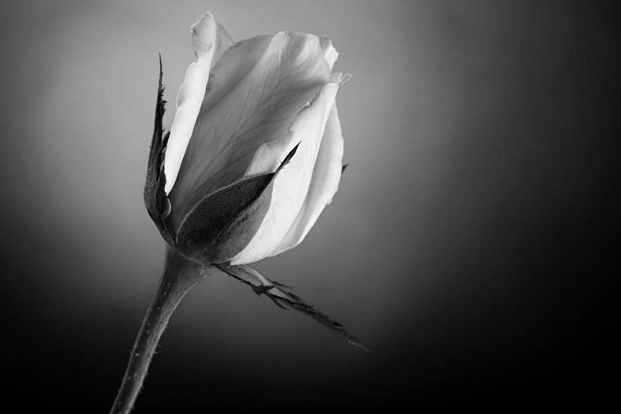 Rose Photograph - Black And White Soft Rose by M K  Miller