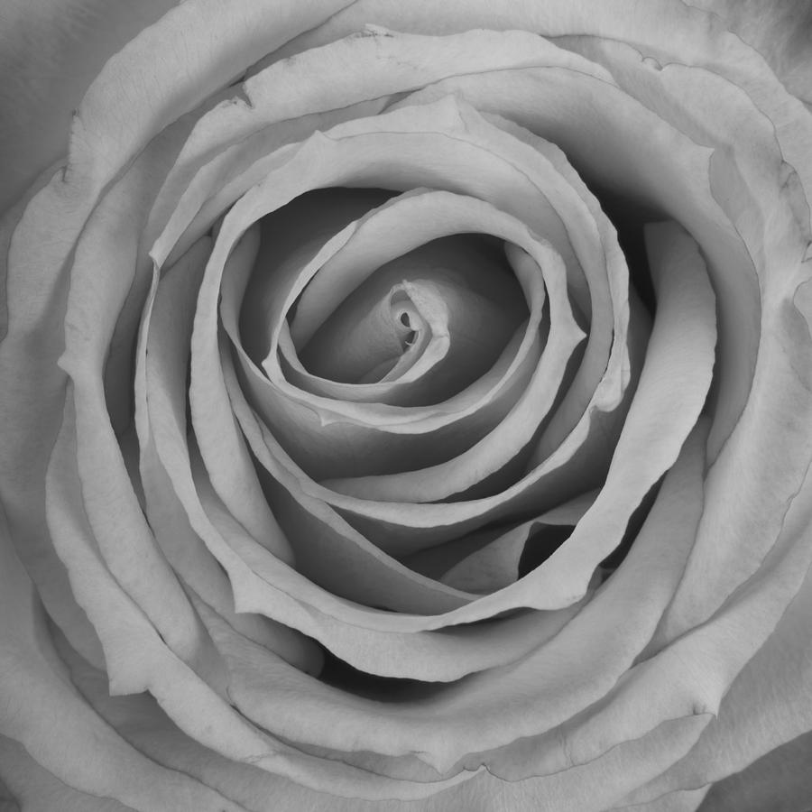 Black And White Spiral Rose Petals Photograph  - Black And White Spiral Rose Petals Fine Art Print