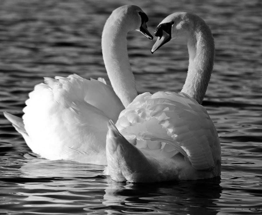 Black And White Swan Heart Photograph  - Black And White Swan Heart Fine Art Print