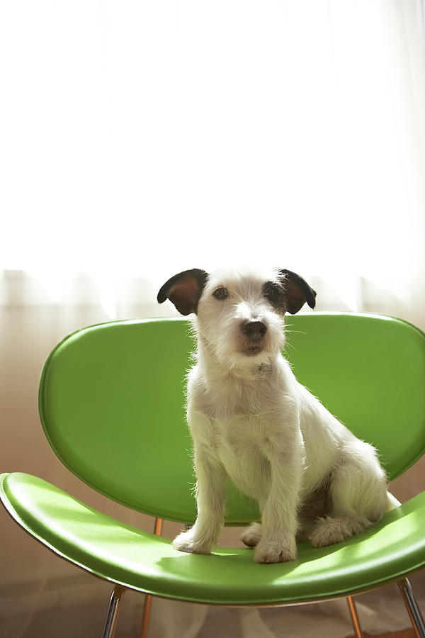 Black And White Terrier Dog Sitting On Green Chair By Window Photograph
