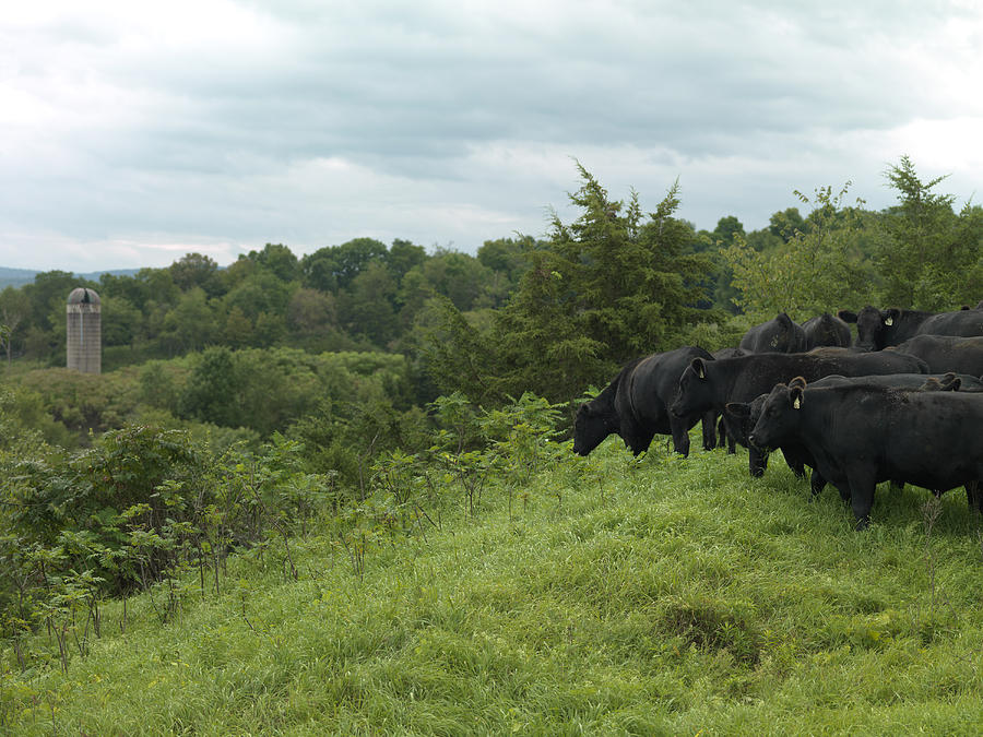 Black Angus Cattle Photograph