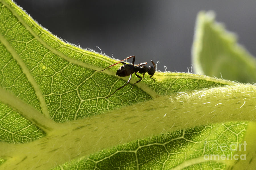 Black Ant On Sunflower Leaf Photograph by Bob Christopher