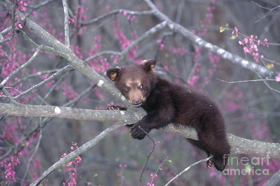 Black Bear Cub On Branch Photograph