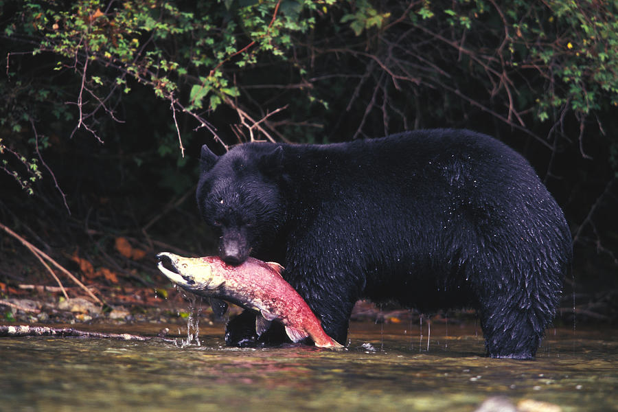 Black bear eating american black bear photograph black bear eats a
