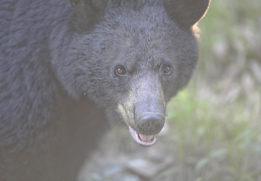 Black Bear  Photograph  - Black Bear  Fine Art Print