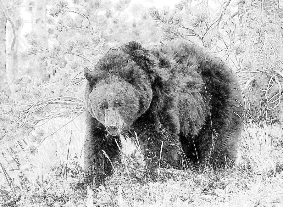 Black bear sketches - photo#15