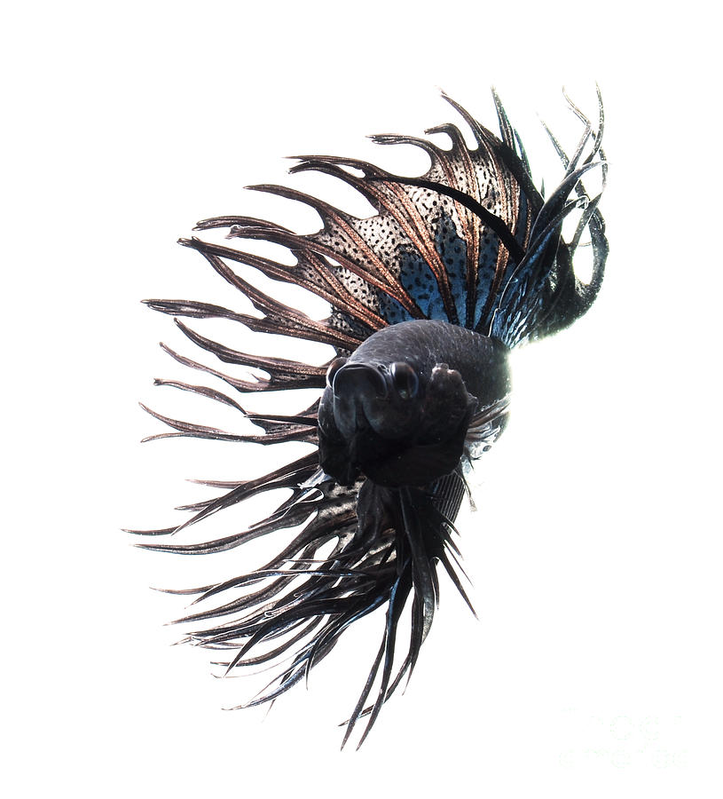 Black Betta Fish Photograph  - Black Betta Fish Fine Art Print