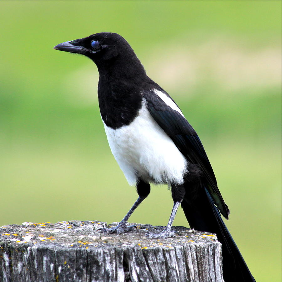 Black-billed Magpie Photograph
