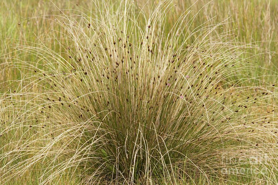 Black Bog-rush (schoenus Nigricans) Photograph