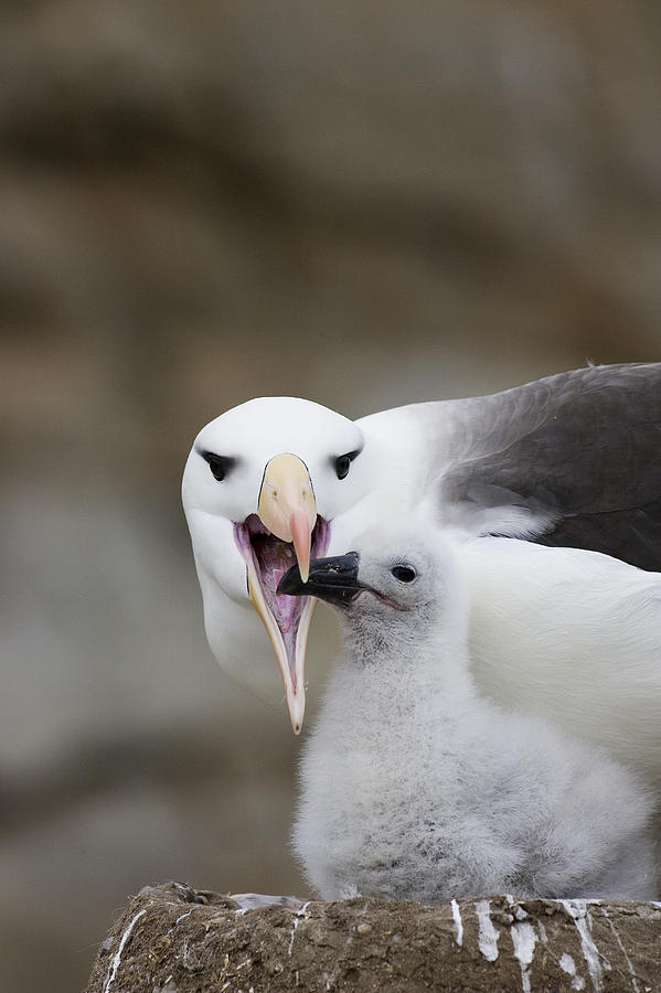 Black Browed Albatross Preparing Photograph
