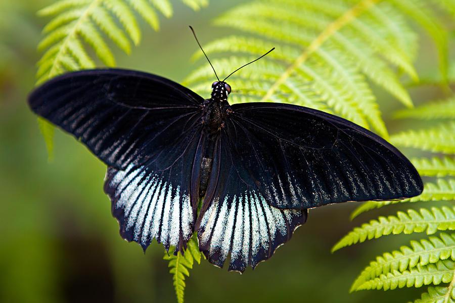Black Butterfly...