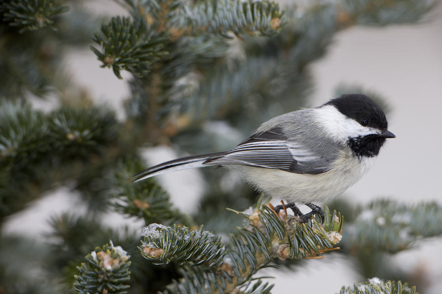 Day Photograph - Black-capped Chickadee, Poecile by John Cancalosi