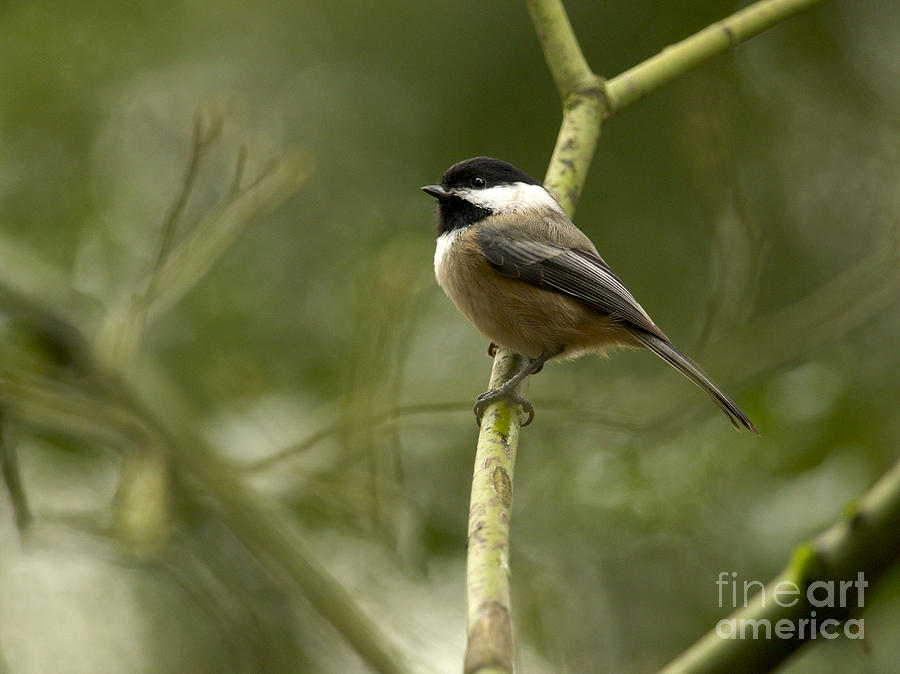 Black-capped Chickadee With Branch Bokeh Photograph