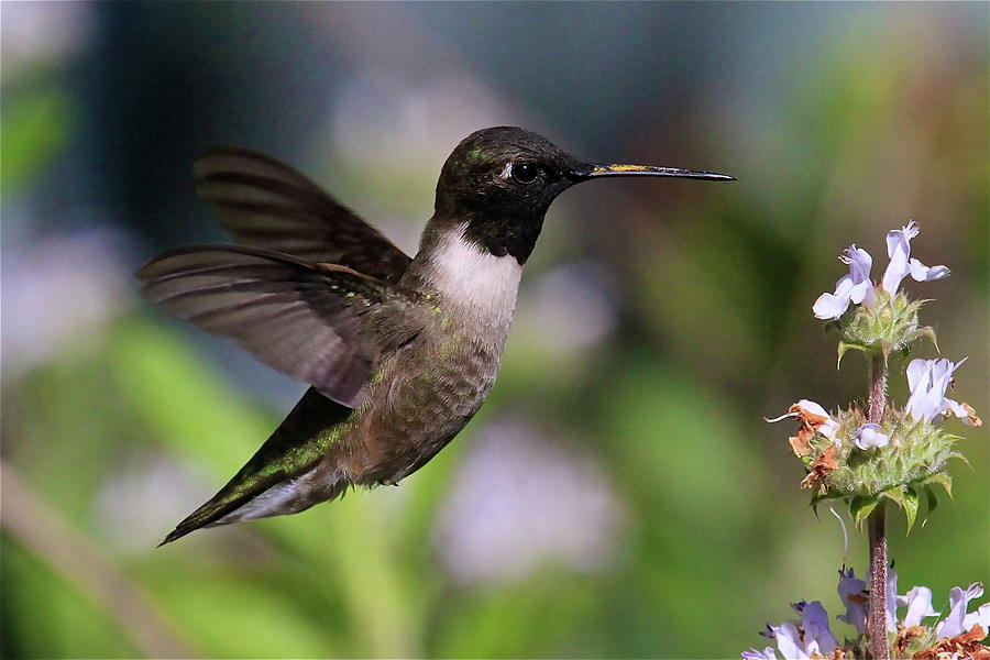Black Chinned Hummingbird by Paul Marto: fineartamerica.com/featured/black-chinned-hummingbird-paul-marto.html