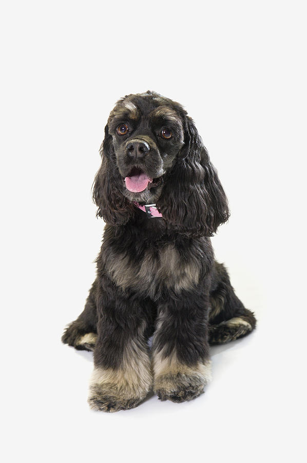 Black Cocker Spaniel With Golden Boots Photograph