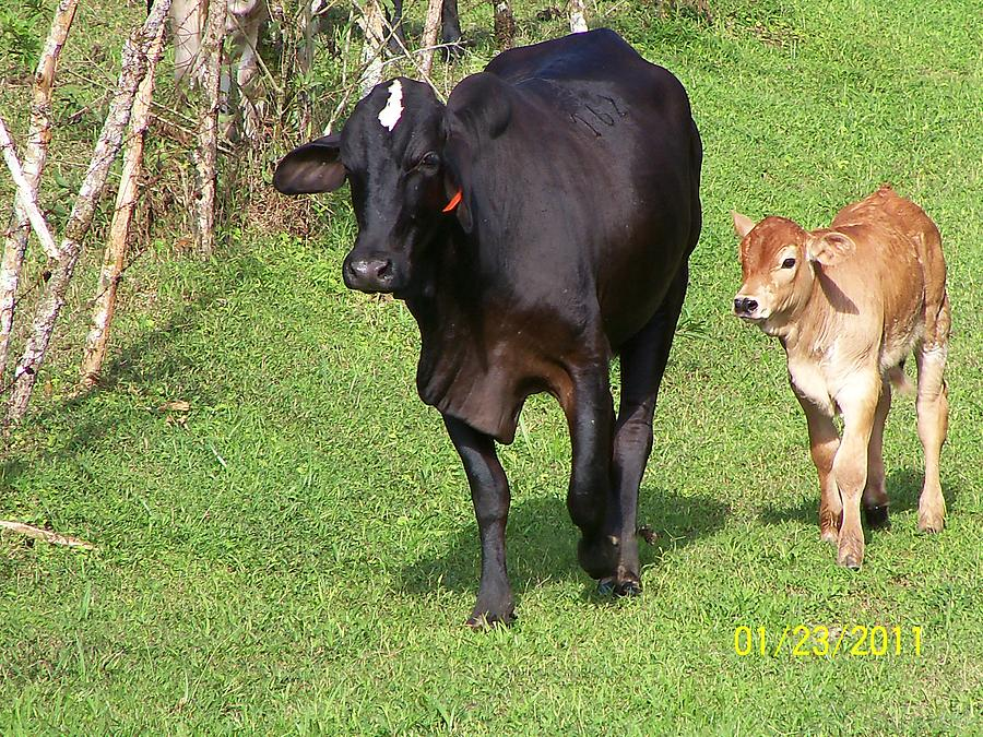 Black Cow And Baby Calf Photograph