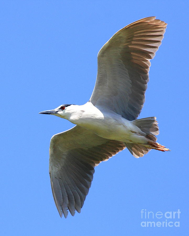 Night heron in flight - photo#39