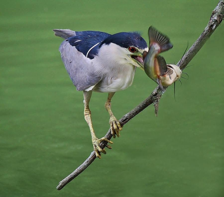 Black Crowned Night Heron With A Catfish Photograph