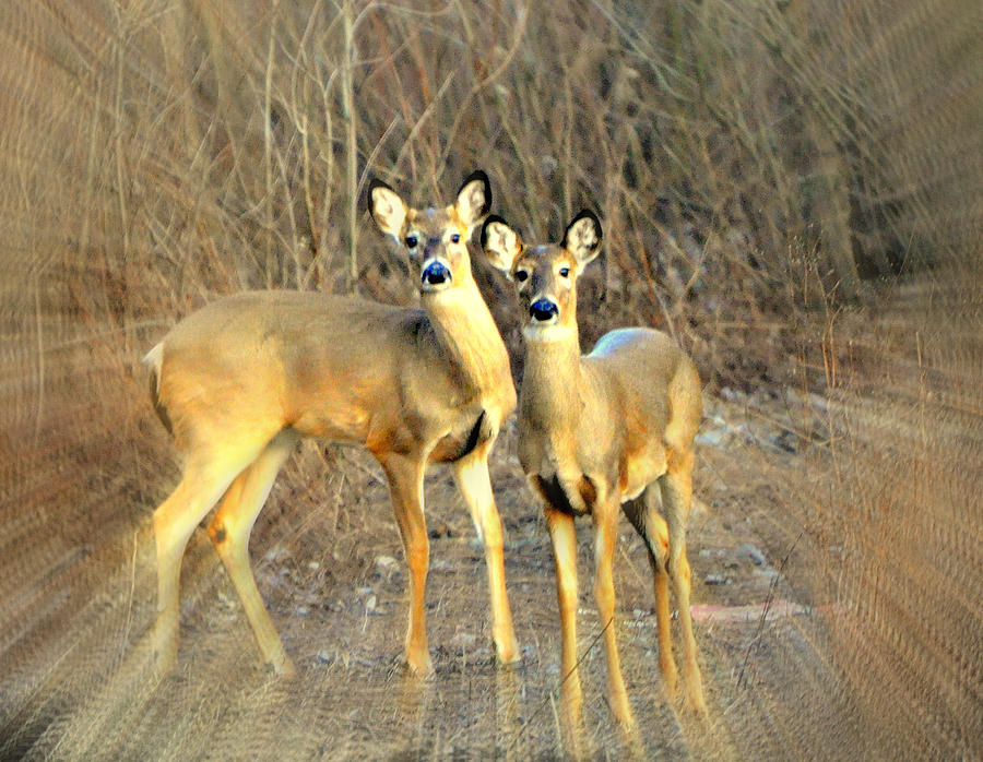 Black Ear Deer Photograph  - Black Ear Deer Fine Art Print