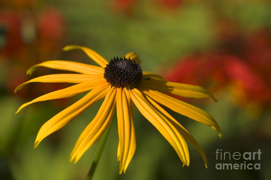 Black-eyed Susan 2 Photograph  - Black-eyed Susan 2 Fine Art Print