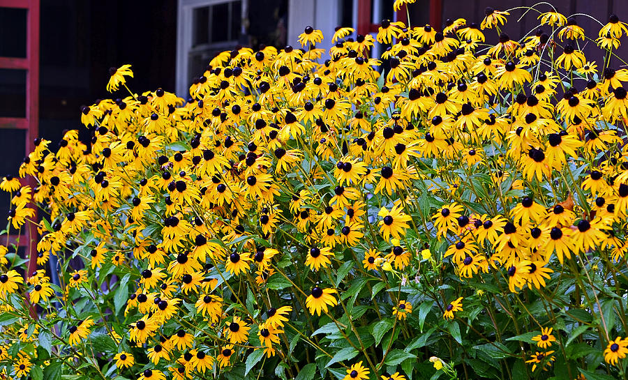 Black Eyed Susan Flowers  Photograph  - Black Eyed Susan Flowers  Fine Art Print