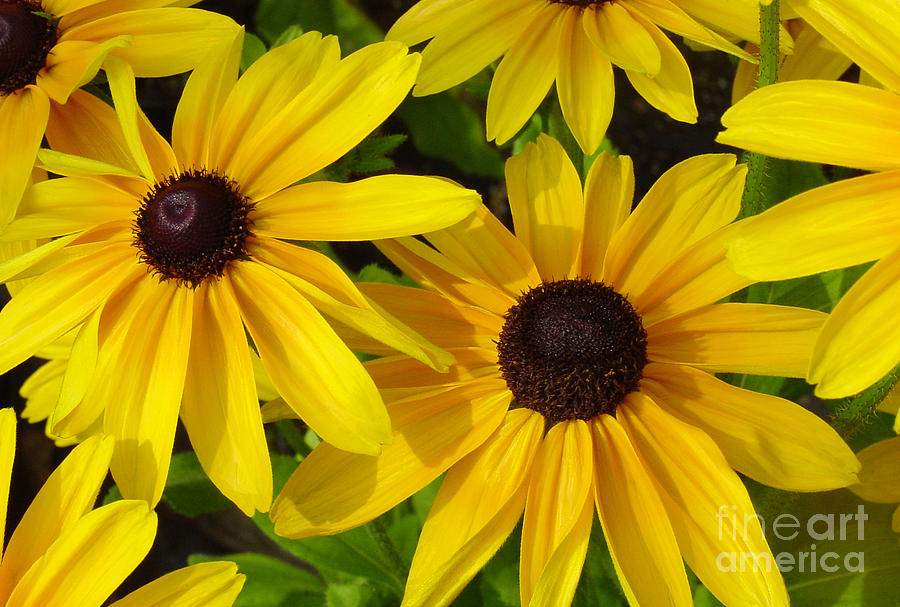 Black Eyed Susans Photograph  - Black Eyed Susans Fine Art Print