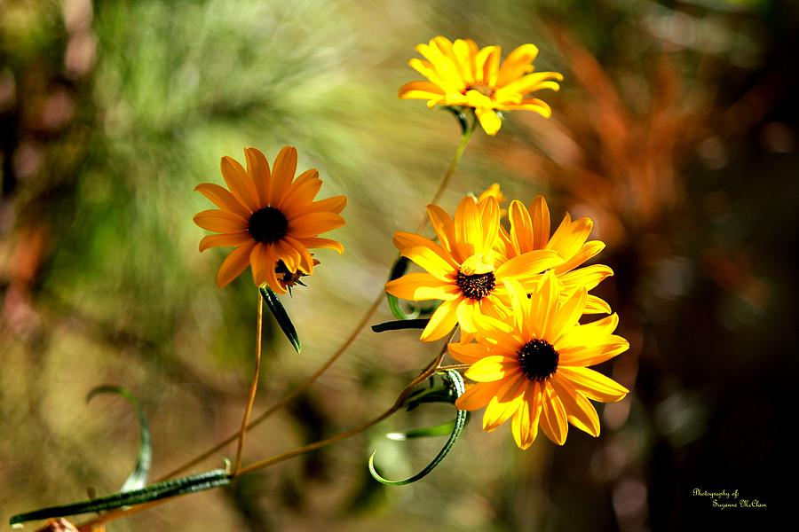 Black Eyed Susans Digital Art  - Black Eyed Susans Fine Art Print