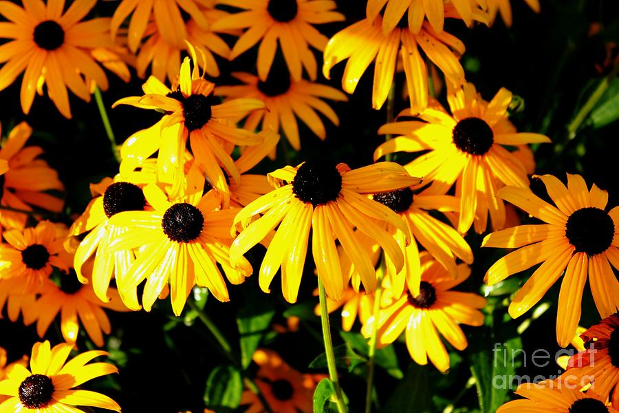Black Eyed Susans Photograph - Black Eyed Susans by Theresa Willingham