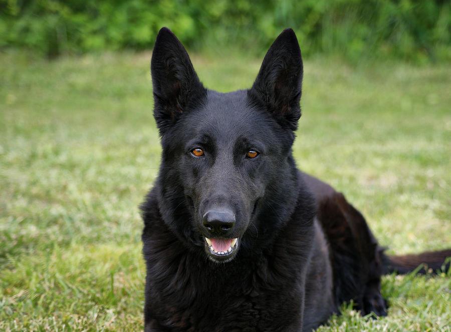 Black German Shepherd Dog II by Sandy Keeton