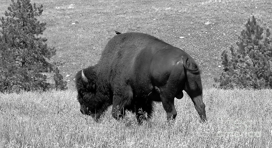 Black Hills Bull Bison Photograph