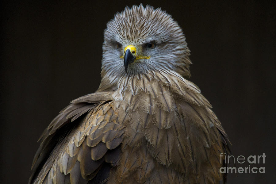 Black Kite 1 Photograph  - Black Kite 1 Fine Art Print