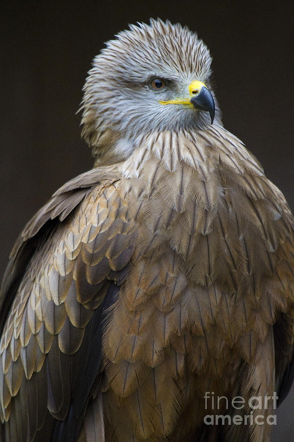 Bird Of Prey Photograph - Black Kite 4 by Heiko Koehrer-Wagner