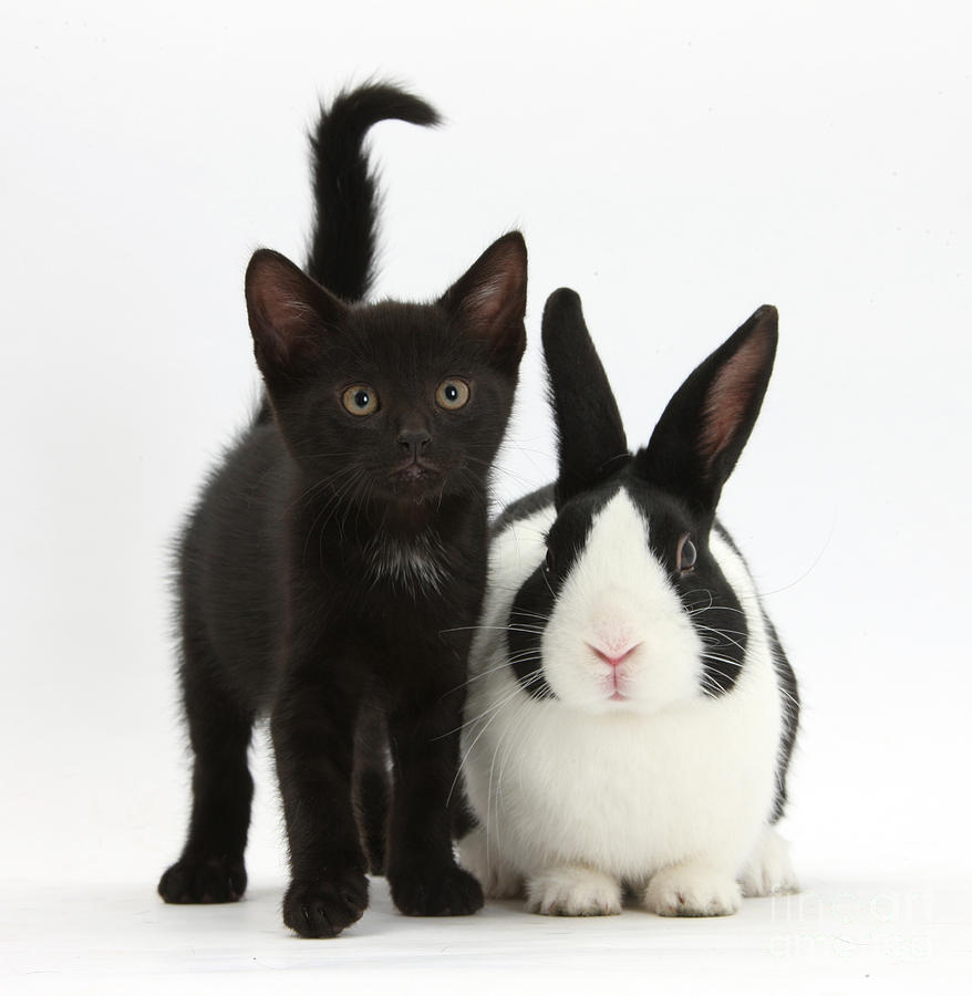 Black Kitten And Dutch Rabbit Photograph