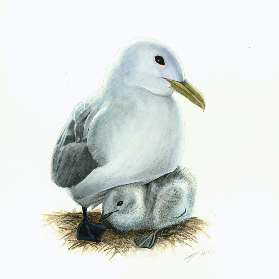Black-legged Kittiwake Parent And Chick Painting  - Black-legged Kittiwake Parent And Chick Fine Art Print