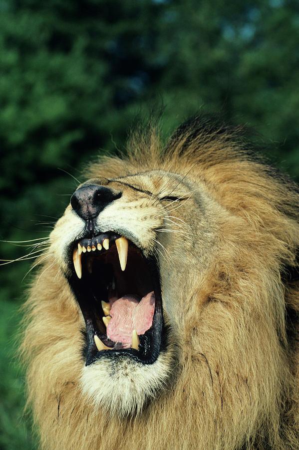 Black-maned Male African Lion Yawning, Headshot, Africa Photograph