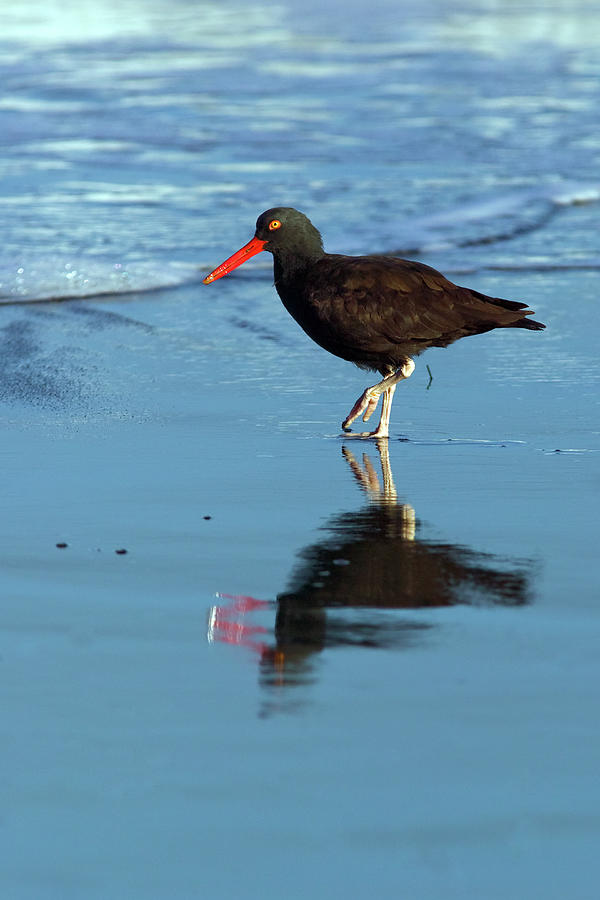 Black Oystercatcher Photograph  - Black Oystercatcher Fine Art Print