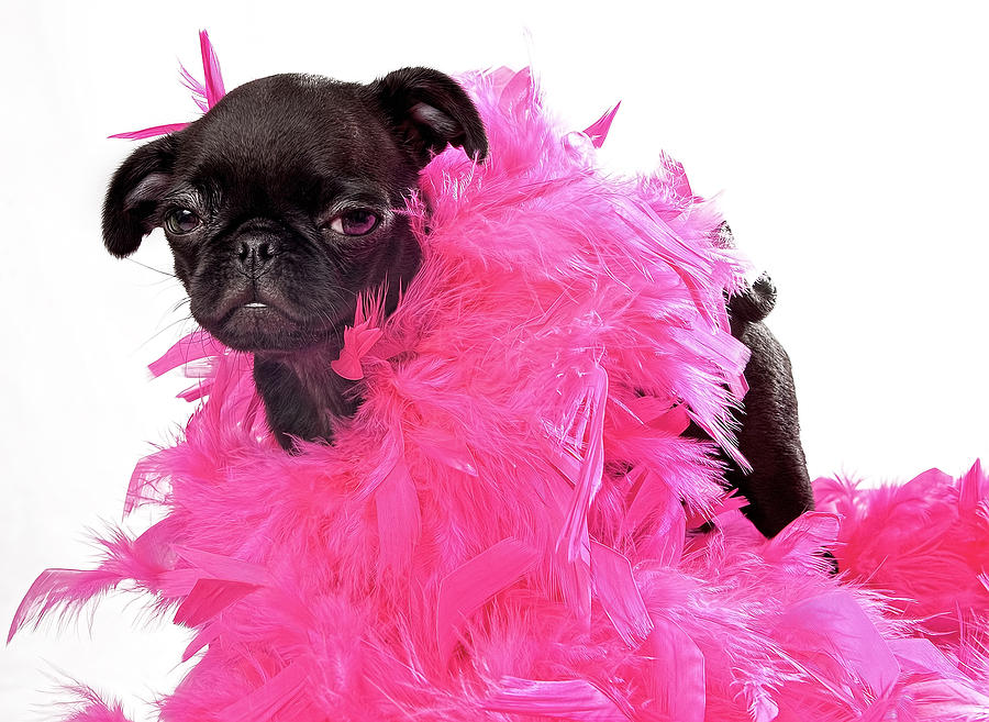 Black Pug Puppy With Pink Boa Photograph  - Black Pug Puppy With Pink Boa Fine Art Print