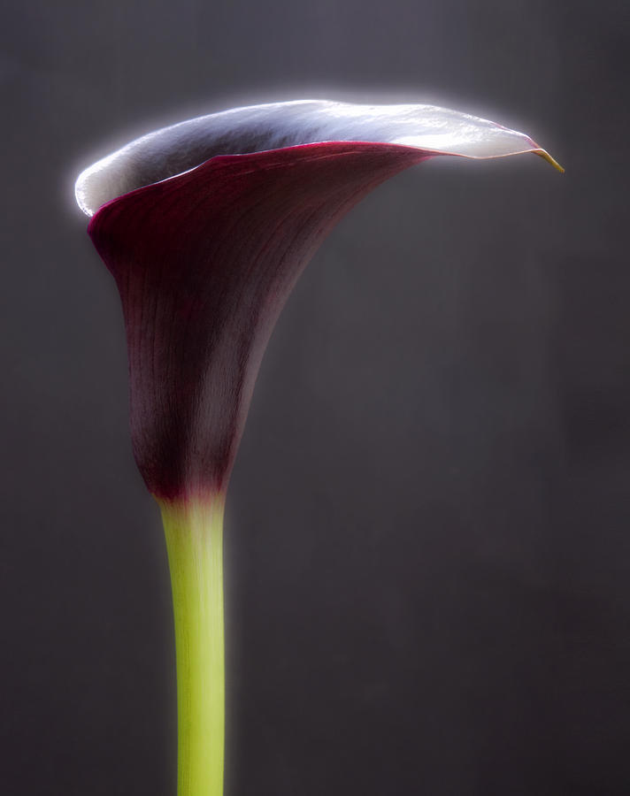 Black Purple Calla Lilies # 2 - Macro Flowers Fine Art Photography Photograph  - Black Purple Calla Lilies # 2 - Macro Flowers Fine Art Photography Fine Art Print