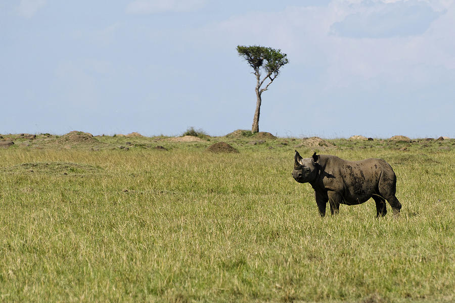 Black Rhino In The Masai Mara Photograph  - Black Rhino In The Masai Mara Fine Art Print