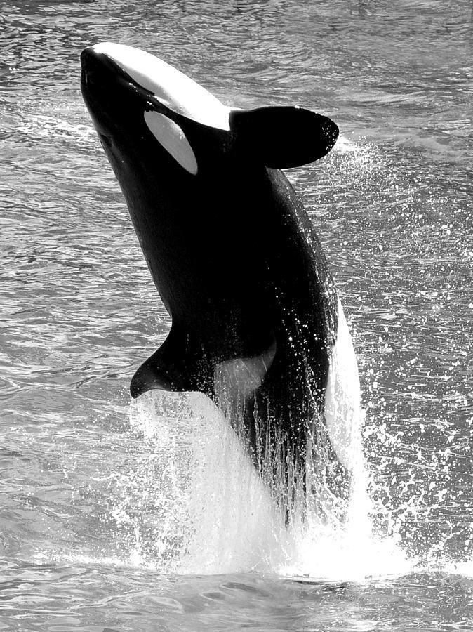 Killer Whale Photograph - Black Splash by Emily Stauring