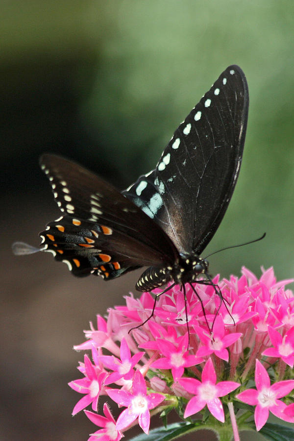 Black Swallowtail Photograph  - Black Swallowtail Fine Art Print