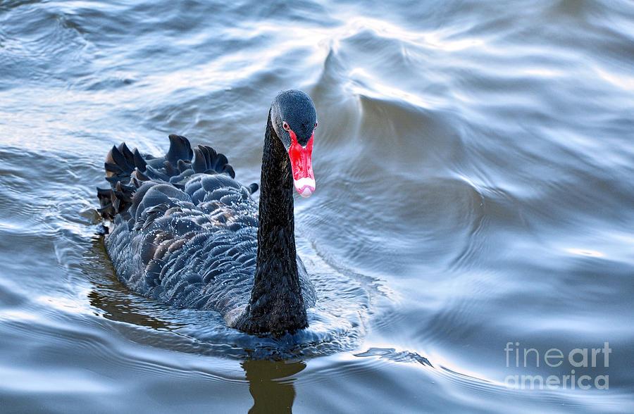 Black Swan 3 Photograph
