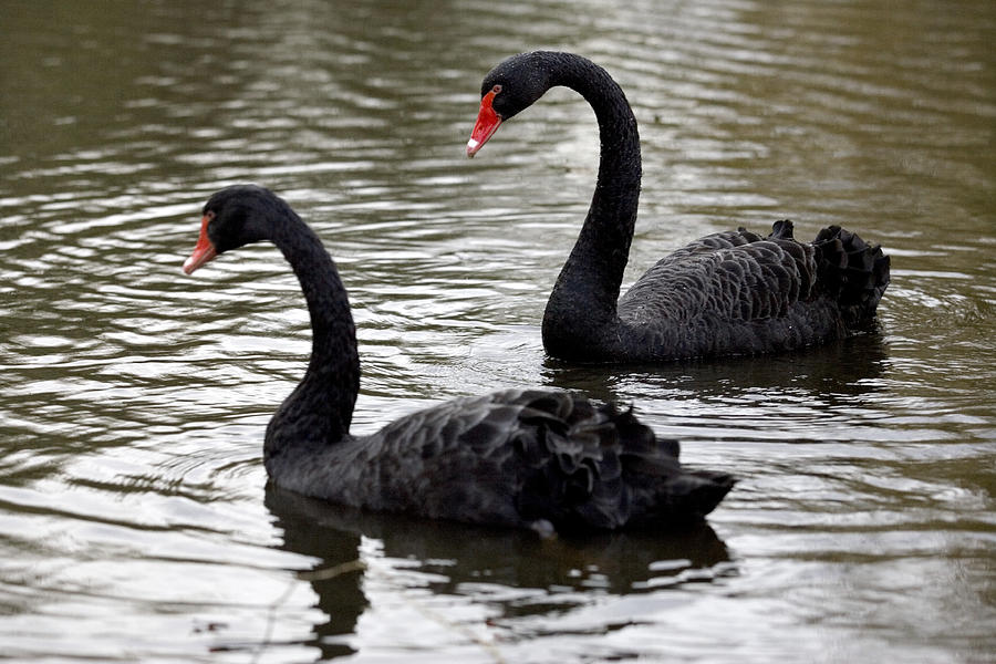 Black Swans Photograph  - Black Swans Fine Art Print