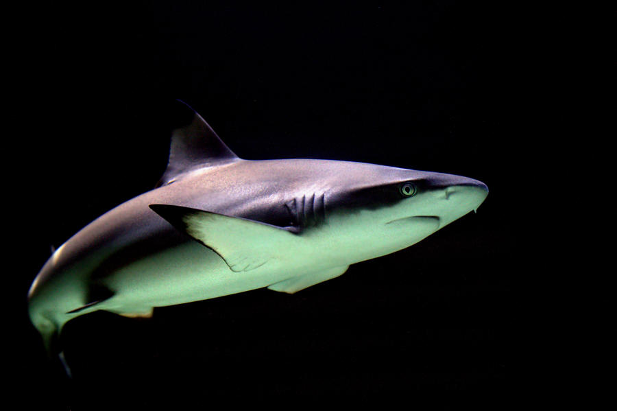 Black Tip Reef Shark by Elizabeth Hart The Temperature Pinterest