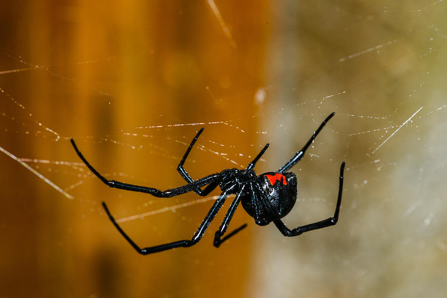 Black Widow Trap Photograph  - Black Widow Trap Fine Art Print