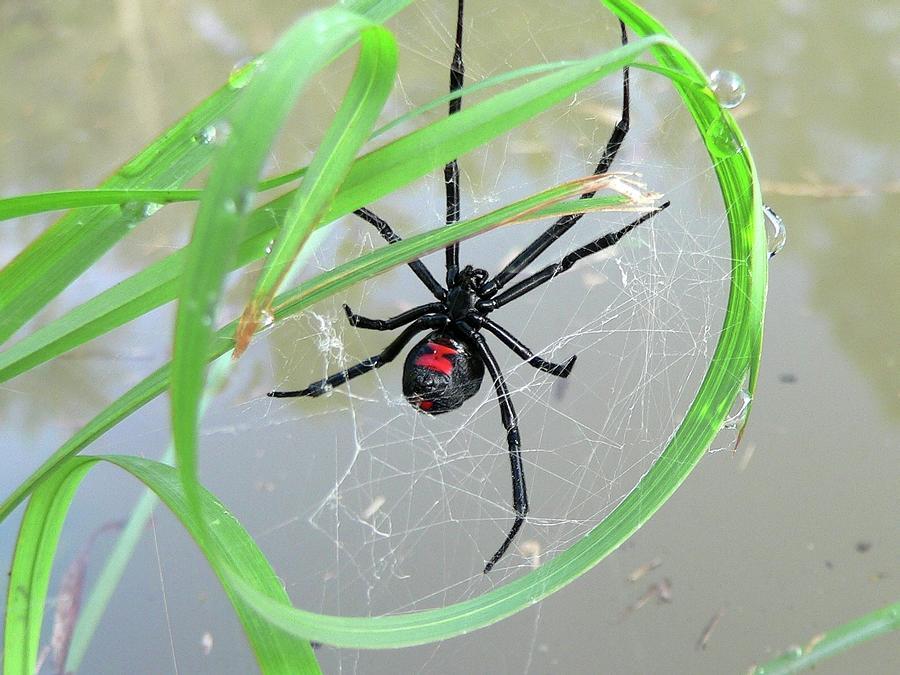 Black Widow Wheel Photograph